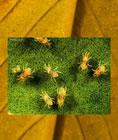 Araña roja - vista microscópica
