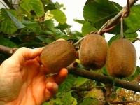 Kiwis gallegos de producción ecológica. Comprar en nuestra tienda online.